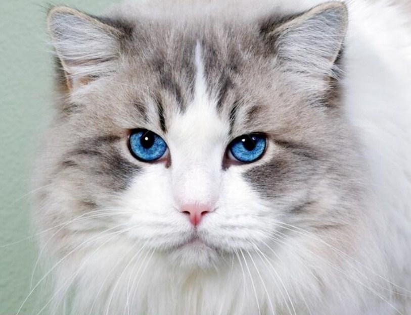Stunning Cat with Blue Eyes Diamond Painting