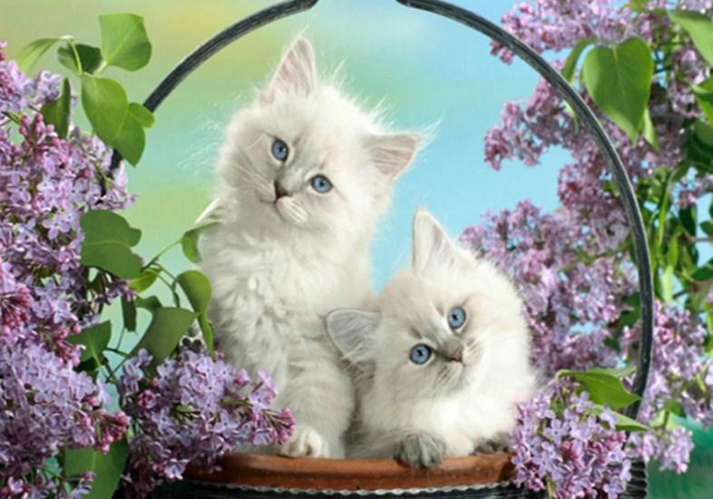 White Cats with Blue Eyes Diamond Painting Kit