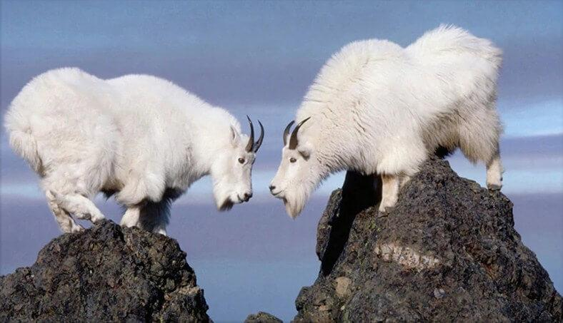 Mountain Goats Diamond Painting