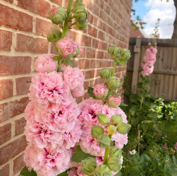 How to grow Hollyhock's from seed