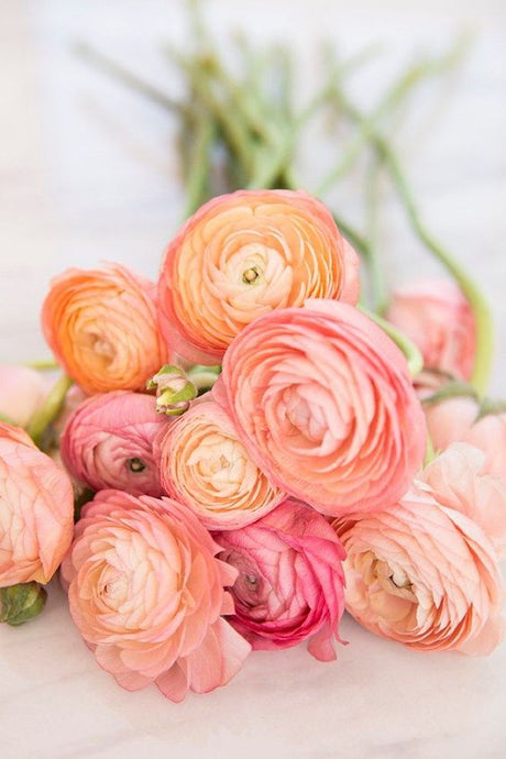 How to plant Ranunculus