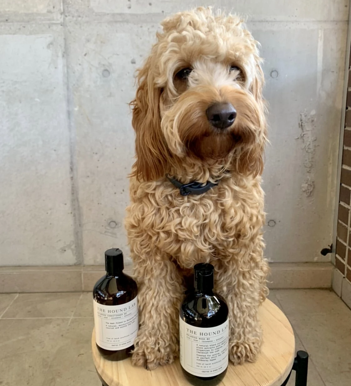 Cavoodle with natural dog shampoo and conditioner
