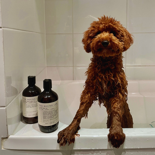 Otis the cavoodle using our products