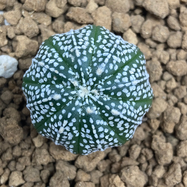 MARK : Astrophytum asterias super kabuto
