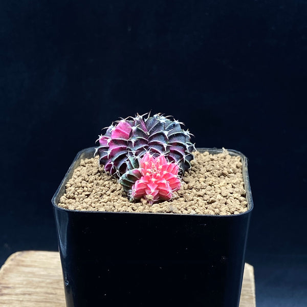 ASHLEY & MARY-KATE: Double Gymnocalycium lb hybride