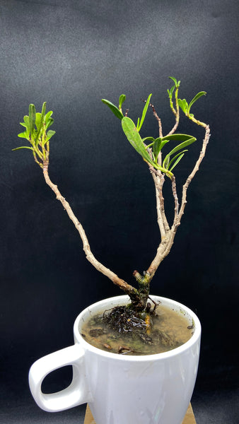 PRUNE: Lumnitzera littorea