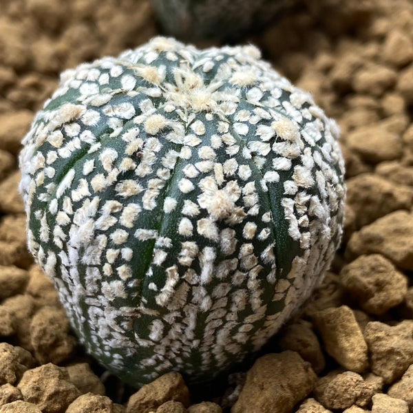 BILL : Astrophytum asterias super kabuto