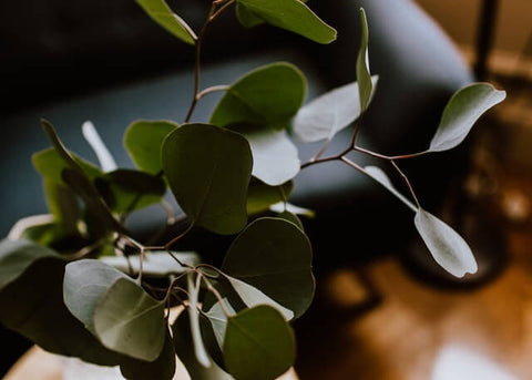 Eucalyptus leaves and branches