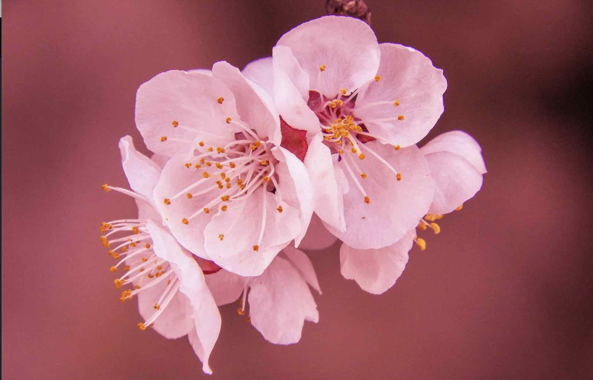 Close up image of beautiful pink cherry blossom flowers