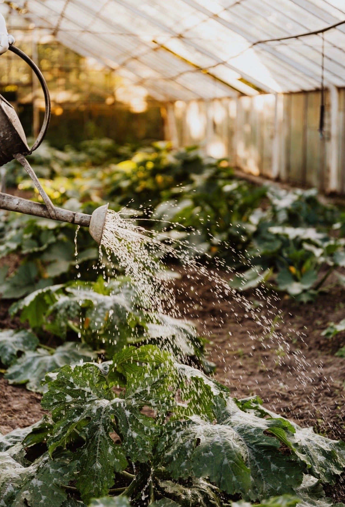 Watering can, watering a green vegetables in a greenhouse