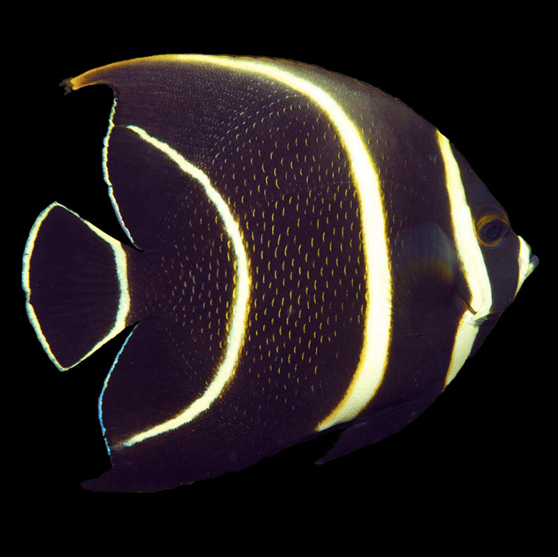 Juvenile Black Angelfish