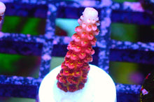 Load image into Gallery viewer, PC Rainbow Bow Acropora Sp. Frag