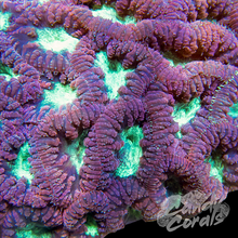 Load image into Gallery viewer, Purple Blastomussa Per Polyp