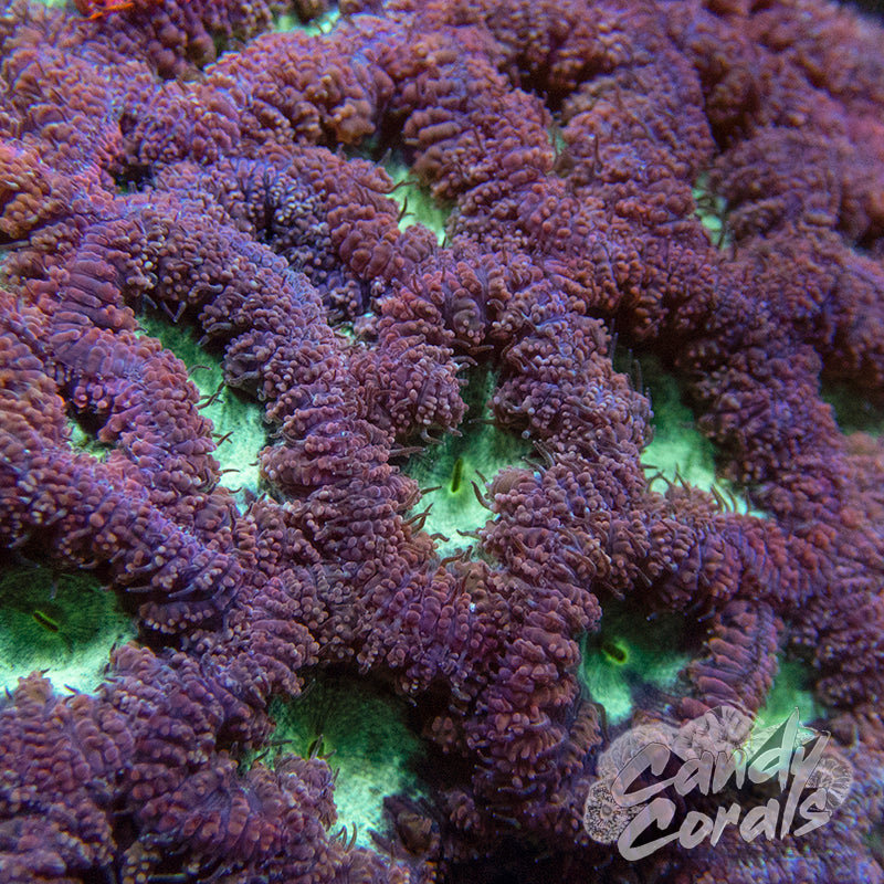 Purple Blastomussa Per Polyp