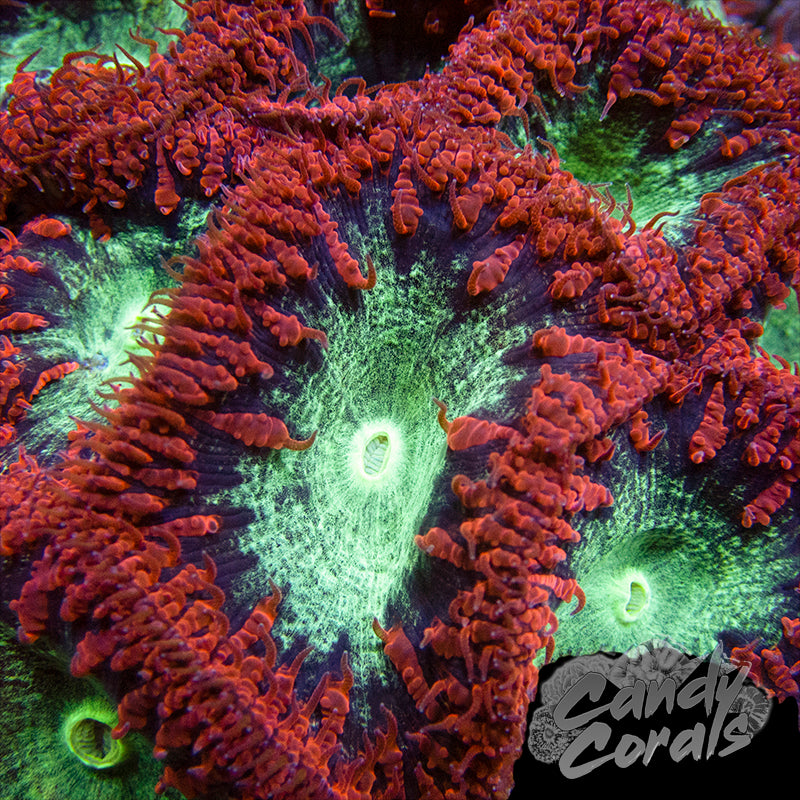 Blue Ringed Red Blastomussa Per Polyp