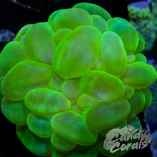 Load image into Gallery viewer, Small Green Bubble Coral Colony