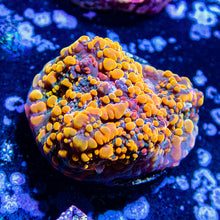 Load image into Gallery viewer, Cherry Corals OG Cloudberry Chalice Frag