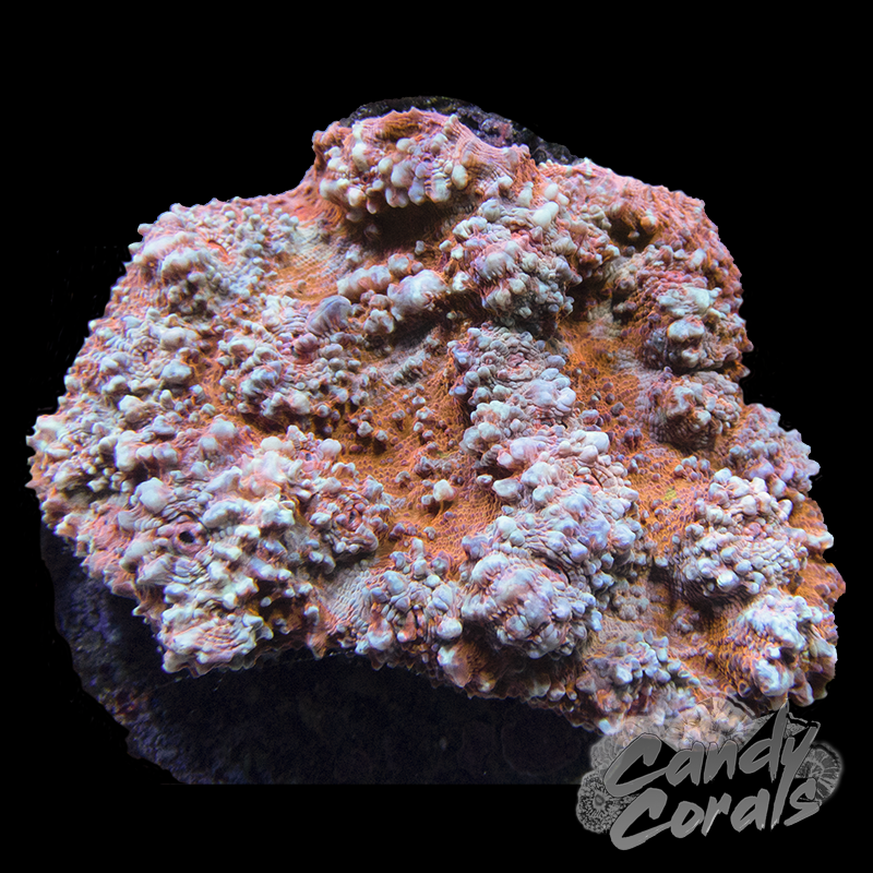 Bright Orange Striped Chalice Colony 2