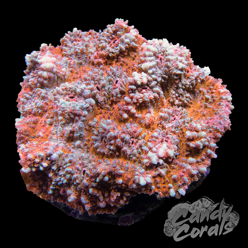 Bright Orange Striped Chalice Colony 4