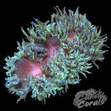 Load image into Gallery viewer, Red Mouth Elegance Coral Frag