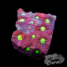 Load image into Gallery viewer, War Coral Favia Frag