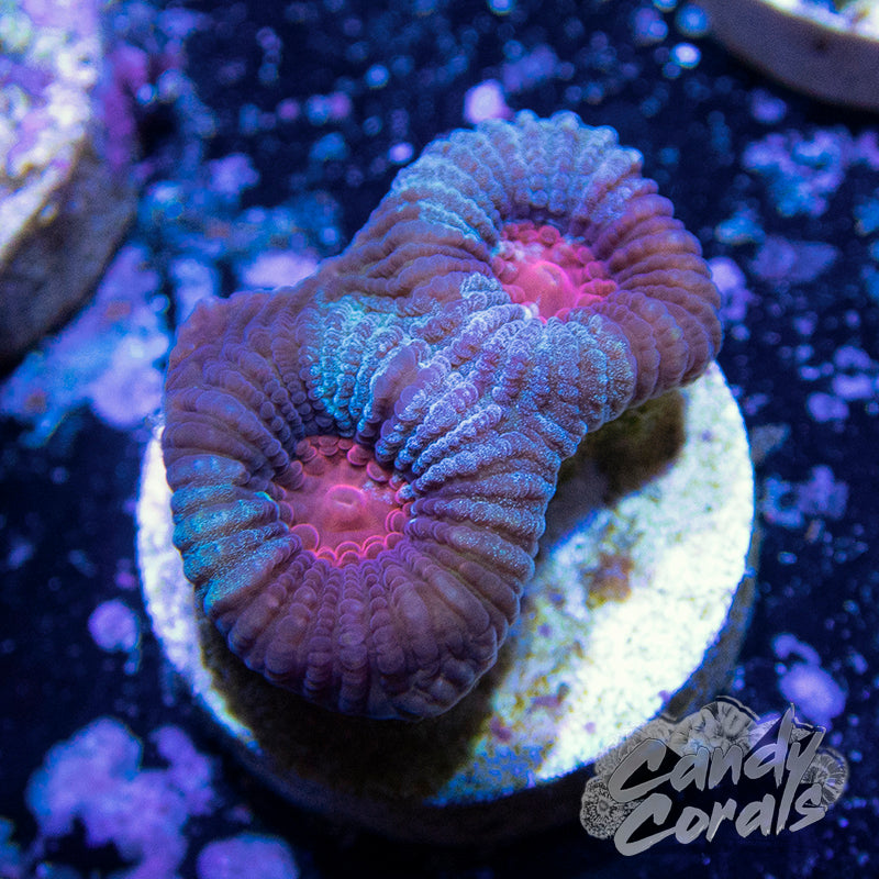 Marbled Purple Favia Frag