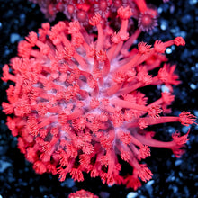 Load image into Gallery viewer, Pink Goniopora Frag