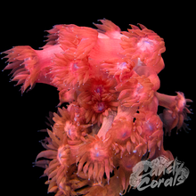 Load image into Gallery viewer, Blue Mouth Pink Goniopora Frag