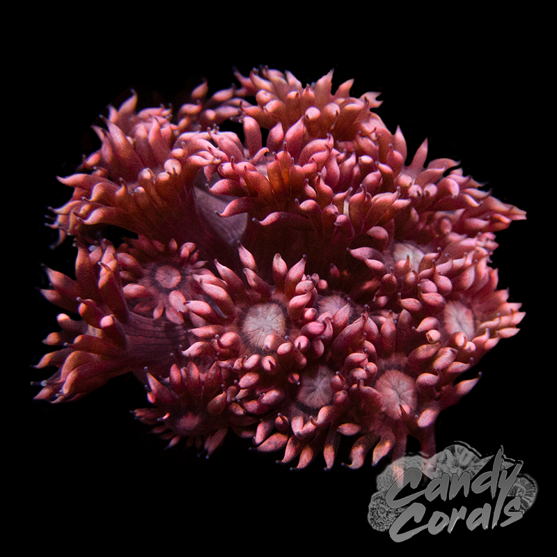 Bright Tipped Pink Goniopora Frag