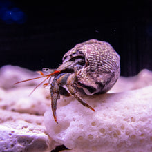 Load image into Gallery viewer, Dwarf Red Tip Hermit Crab