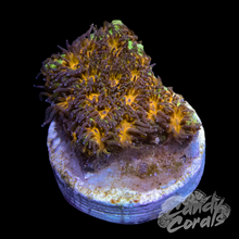 Load image into Gallery viewer, Purple Leptastrea Frag
