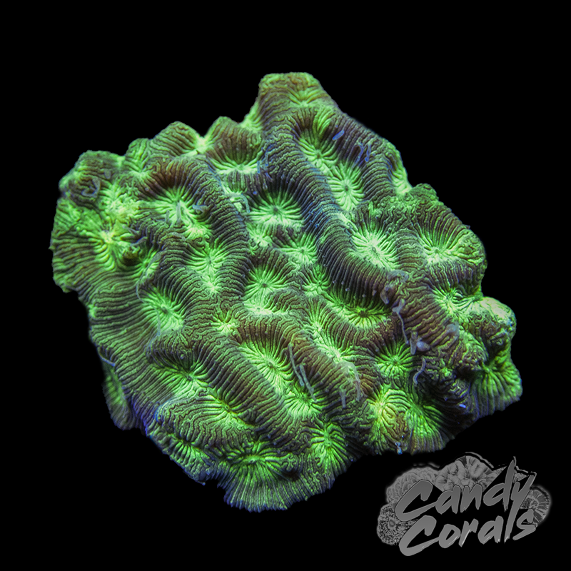 Green Based Lepto Frag