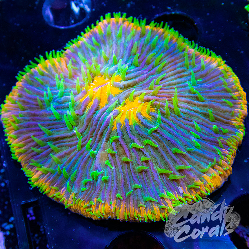 Double Mouth Orange Mouth and Rim Ultra Plate Coral WYSIWYG