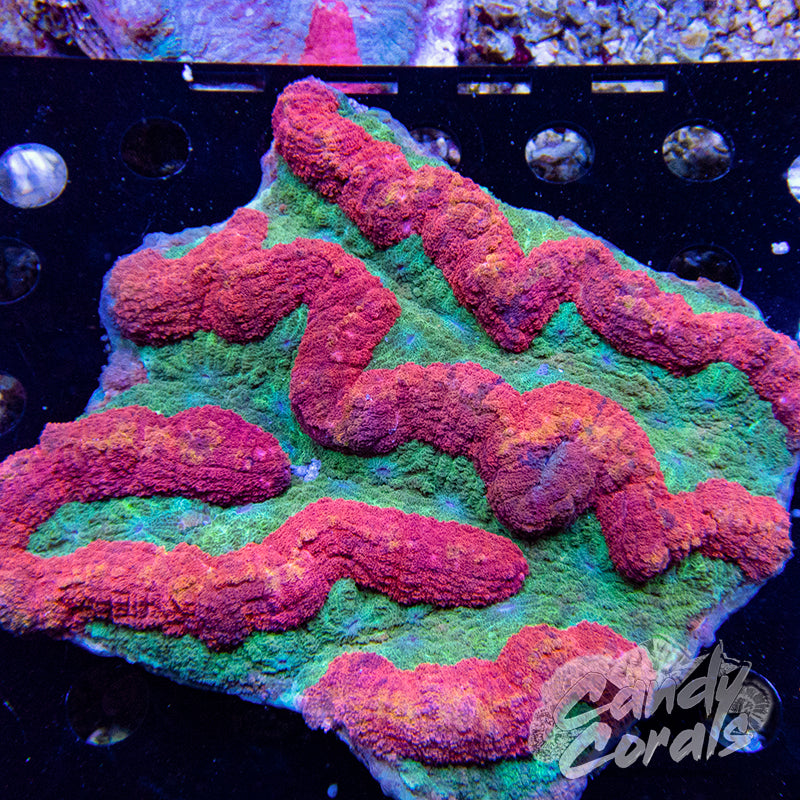 Red Symphyllia Colony