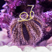 Load image into Gallery viewer, Blue Tuxedo Urchin