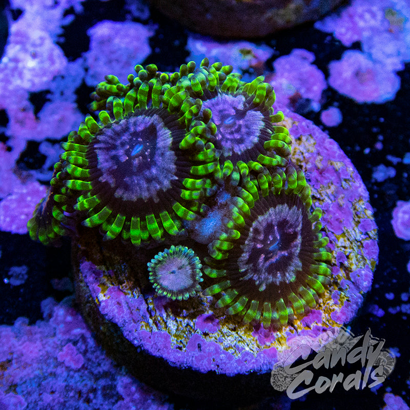 Purple Monster Zoanthid WYSIWYG
