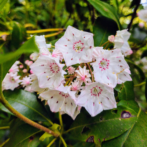 close up of mountain laurel bloom