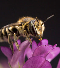 Load image into Gallery viewer, Leafcutter bees