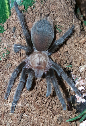 "Aphonopelma hentzi (Texas Brown Tarantula) 1/4"" FREE for orders $75 and over. (after discounts and does not include shipping) One freebie per shipment."