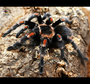 "Brachypelma auratum (Mexican Flame Knee Tarantula) about 1/2"" FREE for orders $200 and over!  (after discounts and does not include shipping) One freebie per shipment."