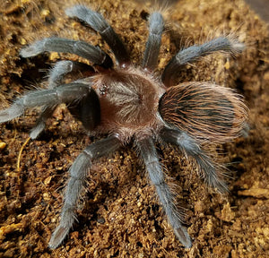 "Tliltocatl vagans (Mexican Redrump Tarantula) was Brachypelma 1/2""  FREE for orders $50 and over!  (after discounts and does not include shipping) One freebie per shipment."