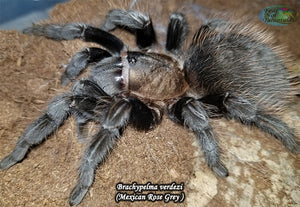 "Tliltocatl Verdezi (Mexican Rose Grey Tarantula) 1/2"" FREE for orders $150 and over! (after discounts and does not include shipping) One freebie per shipment."