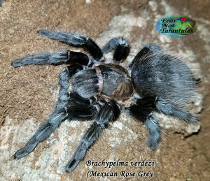 "Tliltocatl Verdezi (Mexican Rose Grey Tarantula) was Brachypelma 1/2"" *Rarely offered*"