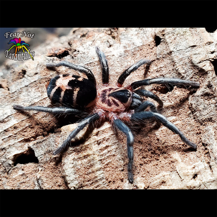 "Cyriocosmus leetzi (Columbian Dwarf Tarantula)  1/8"" FREE for orders $150 and over!  *One freebie per shipment please."