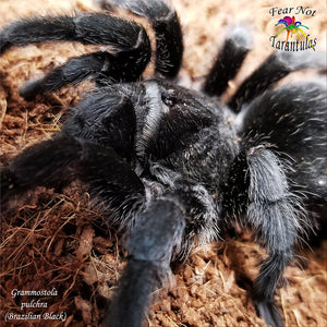 "Grammostola pulchra (Brazilian Black Tarantula) 1"" - 1 1/2""  **Spiderlings are currently molting, will be back in stock when ready**"