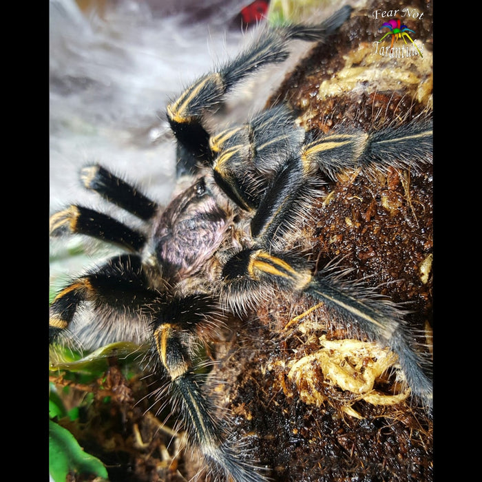 "Grammostola pulchripes (Chaco Golden Knee Tarantula) about 1/3"" - 1/2"""