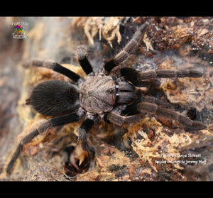 "Haplocosmia sp Black Femur  (Nepalese Black Femur Earth Tiger Tarantula) about 3/4"" FREE for orders $100 and over. (after discounts and does not include shipping) One freebie per shipment."