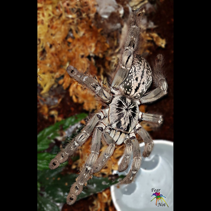 "Heteroscodra maculata (Togo Starburst Tarantula) 1/2"" - 3/4"" FREE for orders $100 and over  (after discounts and does not include shipping) One freebie per shipment"