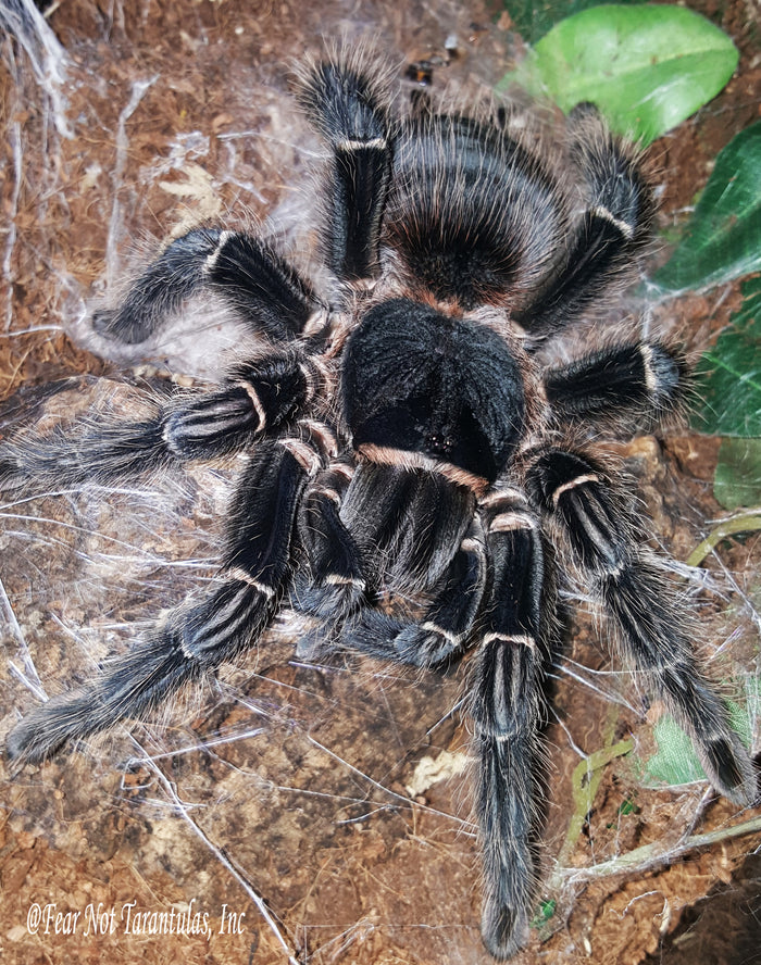 "Lasiodora parahybana - (Brazilian Salmon Pink Birdeater Tarantula)  1/3""  FREE for orders $50 and over. (after discounts and does not include shipping) One freebie per shipment."