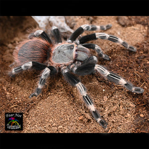 "Nhandu chromatus (Brazilian Red & White Tarantula) 1/3"" - 1/2"" *FREE for orders $75 and over!  (after discounts and does not include shipping) One freebie per shipment."